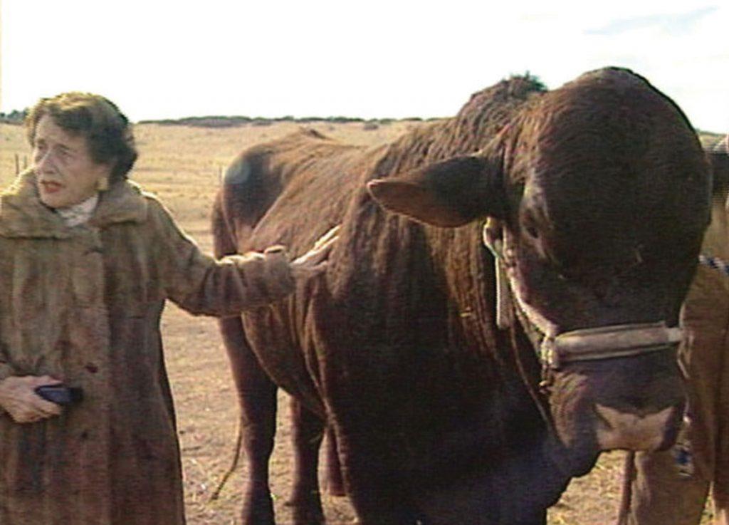 Tweet Kimball with her Santa Gertrudis cows
