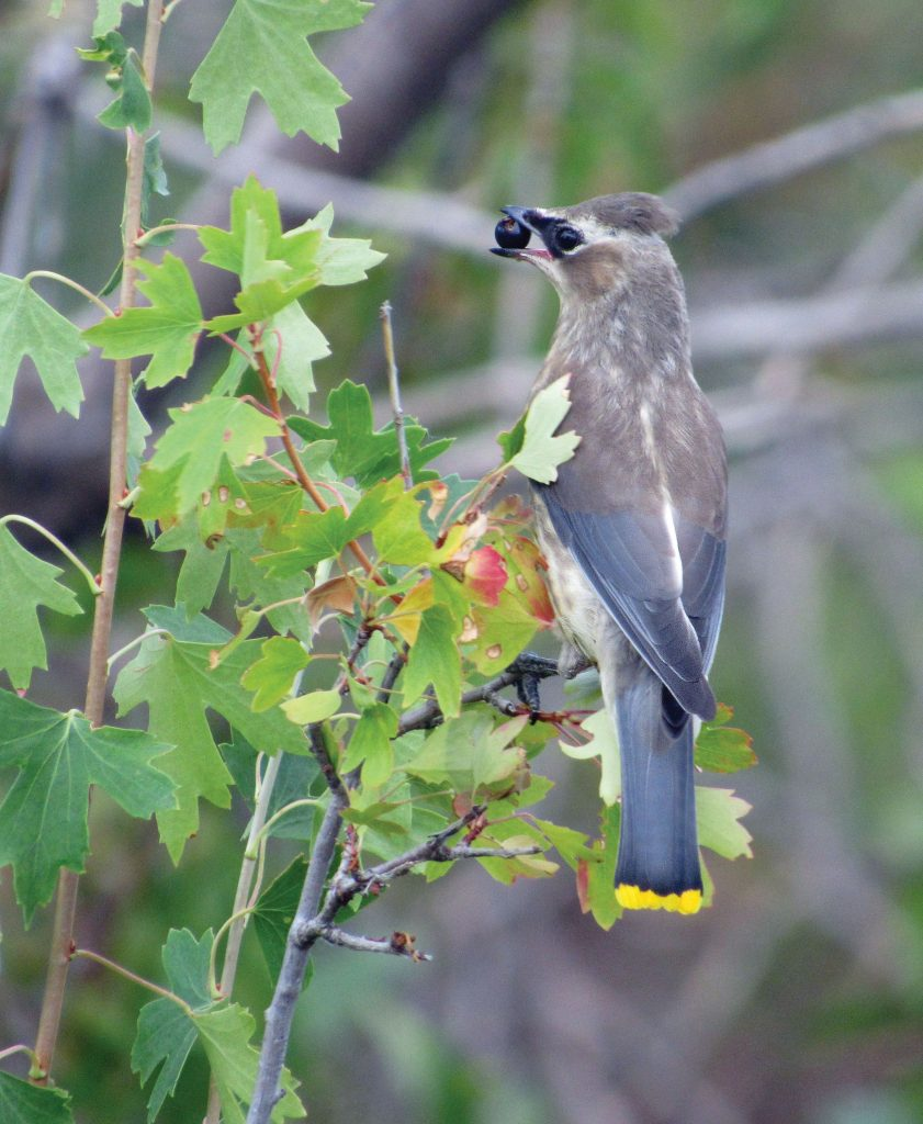 Bird with berry